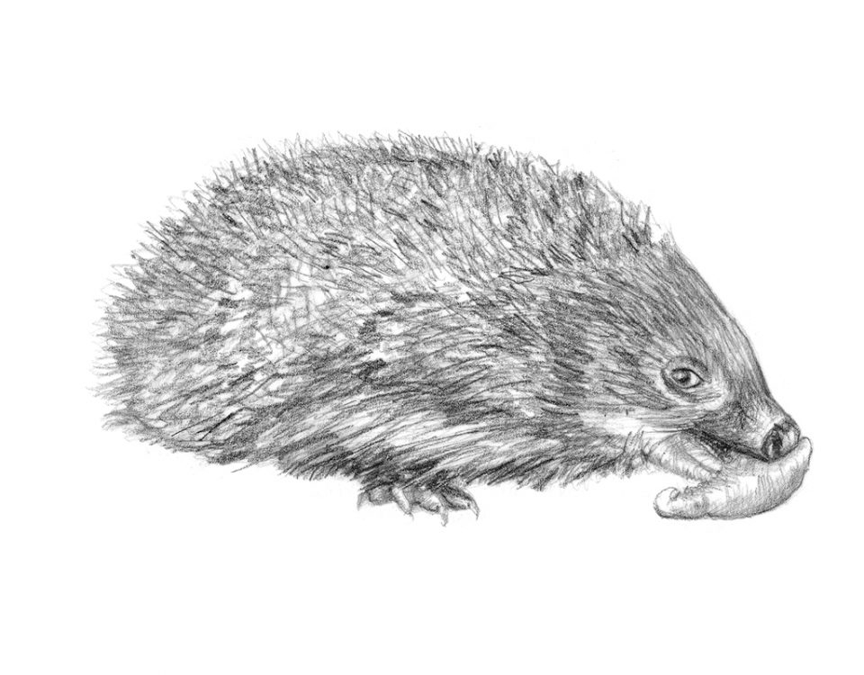 Hedgehog illustration Te Kura